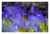 ParcCnrs_Gif_01705_MathildeBryant (MathildeBryant) Tags: campus cnrs gif greenvalley jacinthes mathildebryant nature bois plantes printemps hyacinthaceae hyacinthus