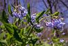 Virginia Bluebells (Mertensia virginica) (David A. Burkart) Tags: virginia bluebells mertensia virginica leecounty usa blue wildflower wfgna spring flower wild nature appalachian cumberland mountain