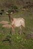 Yung Elko (Brannan!) Tags: elk tule pt point reyes grass land prairie bush foliage