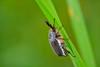 Melolontha papposa (jotneb) Tags: natureza nature coleoptera insectos vidaselvagem arlivre primavera spring portugal wild life