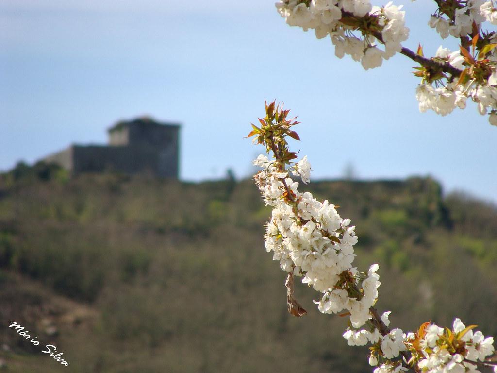 Águas Frias (Chaves) - ... entre ramos de flores de cerdeira (cerejeira) deixando ver na  penúmbra o castelo de Monforte de Rio Livre ...