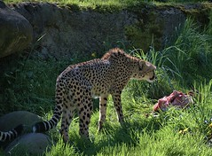 Cheetah Lunch (Scott 97006) Tags: animal cat zoo carcass food feast meal spots cheetah