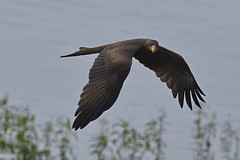 Vol de reconnaissance (Luc Marc) Tags: afrique mali ségou fleuveniger oiseau rapace milanàbecjaune yellowbilledkite milvusaegyptius