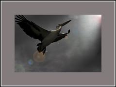 Rising (agphoto100) Tags: bird pelican flight up sky light dark