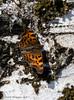 Mmmm.  sapp ! (Timo Halonen) Tags: polygonia calbum herukkaperhonen butterfly spring treesap mahla bark tuohi