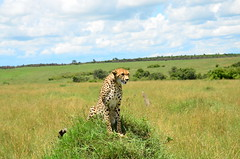 Гепард, Acinonyx jubatus, Cheetah (Oleg Nomad) Tags: африка кения сафари животные млекопитающие копытные саванна africa kenya safari mammals travel animals savanna гепард acinonyxjubatus cheetah