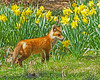 Dances with the Daffodils (pheasantwood) Tags: shelter island ny