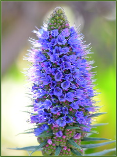 Lovely Madeira Cone
