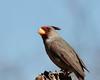 Pyrrhuloxia (Cardinalis sinuatus) (Susan Jarnagin) Tags: bird pyrrhuloxia portal az cardinal chiricahuas cochisecounty cardinalissinuatus arizona