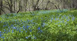 Field of Bluebells