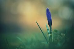 lone survivor (christian mu) Tags: flowers bokeh morningdew spring germany muenster münster botanicalgarden botanischergarten schlossgarten christianmu macro 9028g 9028 90mm sony sonya7riii sonya7rm3 nature