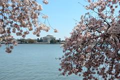 Between pink (afagen) Tags: washington dc washingtondc districtofcolumbia tidalbasin cherryblossom sakura blossom jeffersonmemorial