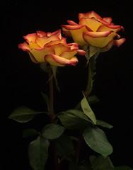 Roses (Rainfire Photography) Tags: roses flower petals stilllife tabletop nikon 7200