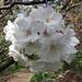 林二號櫻 Cerasus Hayashi-nigo  [日本京都植物園 Kyoto Botanical Garden, Japan]