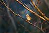 White-Throated Sparrow Morning Light (brandon_gerringer) Tags: whitethroatedsparrow sparrow bird birdphotography nature naturephotography wildlife wildlifephotography canon zonotrichiaalbicollis urban japanesemaple