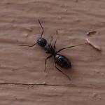 Camponotus nearcticus thumbnail