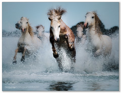 Pace Setter .... (KevinBJensen) Tags: camargue animals nature france horses water galloping action fuji xh1 100400mm paul keates risu