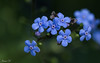 Do not forget me (Irina1010) Tags: flowers blue forgetmenot spring nature 2018 bokeh canon ngc coth5 npc