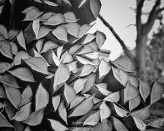 Sisal (Mister Blur) Tags: happy monochrome bokeh thursday hbmt sisal henequén plant cut leaves fibers aké hacienda yucatán méxico nikon d7100 35mm snapseed blackandwhite bw blancoynegro rubén rodrigo fotografía