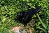 Crow (theq629) Tags: bird crow animal japan kyushu fukuoka 福岡