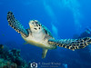 Hawksbill Hug (R. Donald Winship Photography) Tags: aquaticlife cozumel divingunderwater hawksbillturtle palancarcavesreef