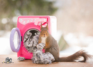 red squirrel with clothing and washing machine