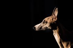 Sunset Shade. (AdamDawsonPhotography) Tags: dog whippet nikond750 puppy garden beach outdoors pet animal nature cute
