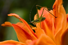 IMG_0013 The Last Free Meal (oldimageshoppe) Tags: insect katydid nymph flower daylily pollen food summer