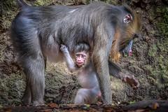 New Kid on the Block (helenehoffman) Tags: africa isoke conservationstatusvulnerable primate mammal baby sandiegozoo mandrillussphinx oldworldmonkey kesi mandrill animal alittlebeauty specanimal coth5 fantasticnature specanimalphotooftheday