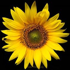 summer (Fay2603) Tags: sunflower yellow summer lightning light shadow black flowers blumen fiore