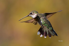Ruby Throated Hummingbird (Mike Veltri) Tags: hummingbird birds avian flight ontario canada
