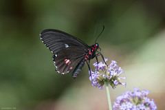 Butterfly 2018-66 (michaelramsdell1967) Tags: butterfly butterflies animal animals nature macro insect insects green bokeh vivid vibrant detail delicate fragile bug bugs beauty beautiful red lovely pretty flower closeup upclose garden summer black wings zen