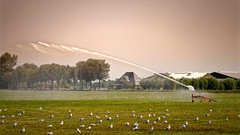 More Fun With A Spray Gun (Alfred Grupstra) Tags: farm agriculture nature animal ruralscene bird field barn grass outdoors meadow landscape nopeople livestock sky nonurbanscene seagull
