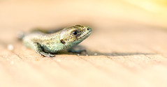 Young Lizard (Peter Quinn1) Tags: reptile thursleycommon surrey boardwalk juvenilelizard commonlizard viviparouslizard
