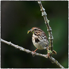 Song sparrow with food for the next generation (RKop) Tags: d500 nikkor600f4evr 14xtciii raphaelkopanphotography kentucky carrolcounty