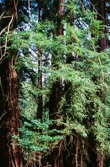 20180724-00012.jpg (tristanloper) Tags: tristanloper creativecommons film nikonf6 california bigsur pacificcoast highway1 pacificocean redwoods