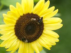 P7281841 (MizGingerSnaps) Tags: 2018 july virginia williamsburg bees summer sunflowers vegetablegarden usa