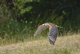 Red-shouldered Hawk 4-19-14