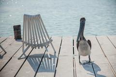 Belize | Caye Caulker (Cyrielle Beaubois) Tags: 2018 belize cyriellebeaubois unbelizable centralamerica cayecaulker island pelican pelicano bird chair water shadow canoneos5dmarkii canonef24105mmf4lisusm