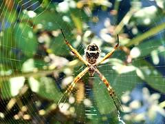 Na teia (femeneses2) Tags: nature natureza inseto animal aranha spider