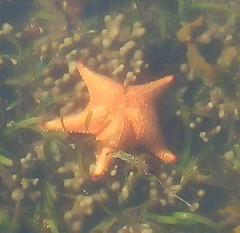 432. Cushion Starfish (1000 Wildlife Photo Challenge) Tags: fish starfish queensland greatbarrierreef coralreef nature wildlife dealife marinelife marine