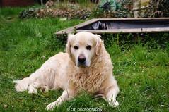 Lasse on his 10th birthday (corinna1411) Tags: pets dogs dog haustiere hund goldenretriever golden retriever outdoors landschaft landscape natur nature nikon nikond300 grün green infinitexposure