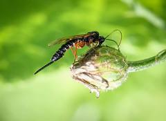Ichnuemon sp. - Pimpla glandaria (andrewkirby255) Tags: ichneumon stokeabbott dorset