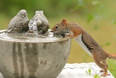Snapshot from Chateau Slow (Slow Turning) Tags: tamiasciurushudsonicus americanredsquirrel rodent drinking water fountain birdbath summer southernontario canada