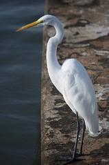 St Augustine 15 (RNRobert) Tags: bird florida staugustine stjohnscounty waterfowl