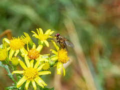 Go on push. (dave p brecks) Tags: fly invertebrates olympus60mmmacro panasonicdmcg80