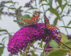 Peacock Butterfly (thorburns) Tags: buddleia butterfly butterflybush peacockbutterfly purple gardenvisitor flyingbugs bugswithwings winged insects flower petal pretty floral pink green mothernature stamen pistil pollen fleur