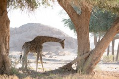 Lone Giraffe (iamfisheye) Tags: 2018 olympus lens namibia namibiantrackstrails desert trees hoanibriver 4wddesertsafari angolian zd50200mm mkii zuiko 50200mm exodus july giraffe kit zd em1 camera