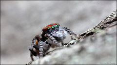Green Eyed volans (GTV6FLETCH) Tags: maratus peacockspider spider jumpingspider macro macrophotography maratusvolans peacockjumpingspider canon canoneos5dsr canonmpe65 canonmpe65mm15xmacro canonmpe65mmf2815xmacrophotolens 5dsr 5dsrcanon canon5dsr