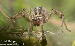 Labyrinth spider-7 (Neil Phillips) Tags: agelenalabyrinthica agelenidae arachnida araneae labyrinthspider arachnid arthropod arthropoda bug invertebrate spider